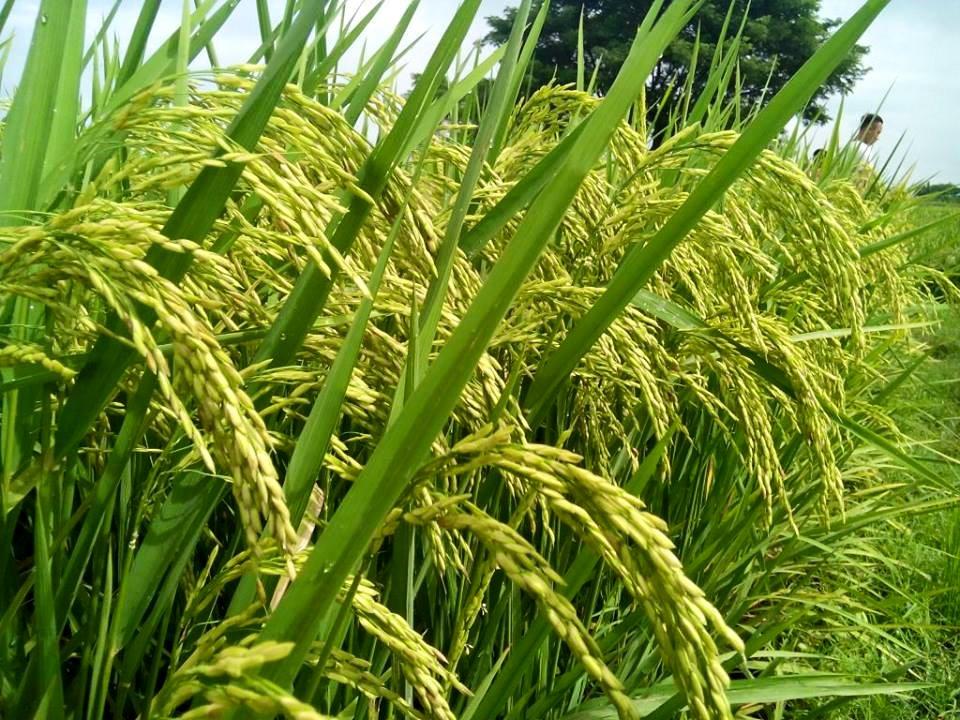 mesin pemotong padi