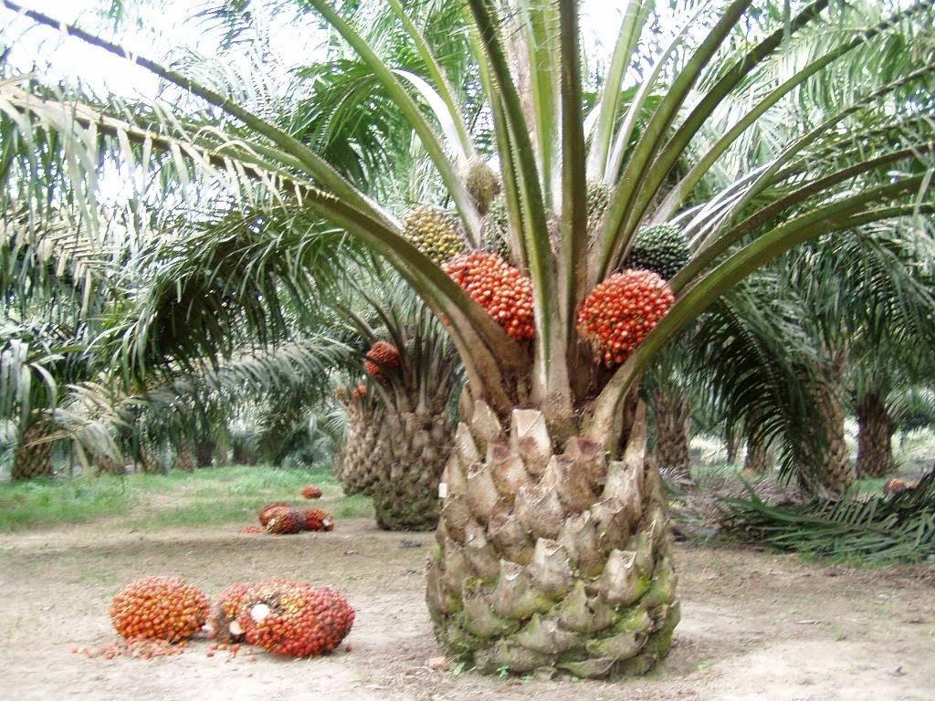 mesin panen kelapa sawit